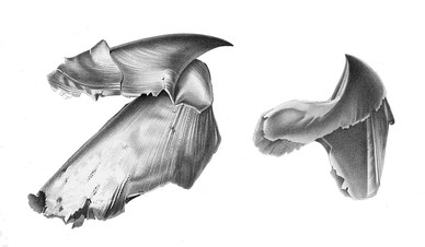 Cephalopod: the two-part beak of a giant squid