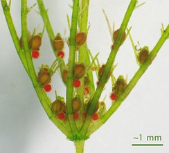 Gametophores (red male antheridia and brown female archegonia) borne on a gametophyte of a Chara species of green algae