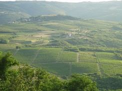 Istrian vineyards; Wine is produced in nearly all regions of Croatia
