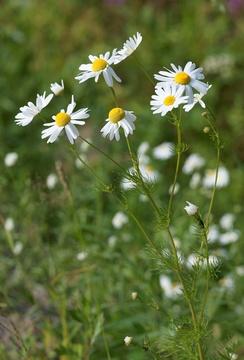 Ромашка аптечная, цветущее растение