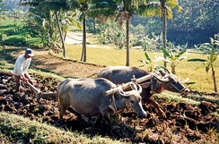Water buffalo ploughing rice fields in Java, Indonesia