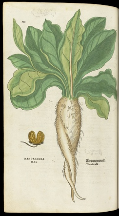 An illustration of a Mandrake plant