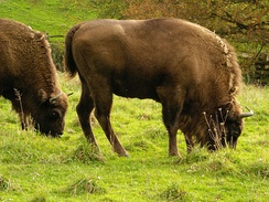 Once roaming the great temperate forests of Eurasia, European bison now live in nature preserves in Białowieża Forest, on the border between Poland and Belarus.[190][191]