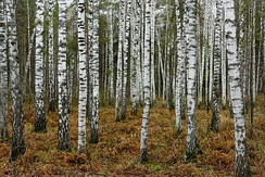 A birch forest in Novosibirsk. Birch is a national tree of Russia.