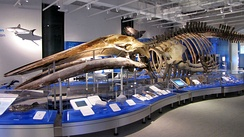 Blue whale skeleton at the Canadian Museum of Nature in Ottawa, Ontario