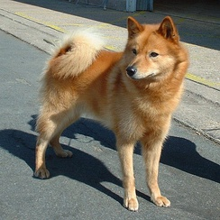 Finnish Spitz with curled tail