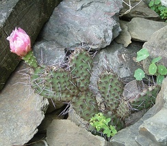 Opuntia polyacantha (Panhandle prickly pear)