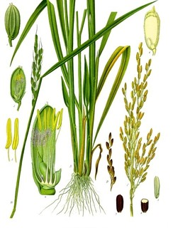 Oryza sativa, commonly known as Asian rice