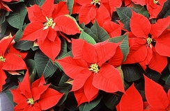 The poinsettia is a short-day plant, requiring two months of long nights prior to blooming.