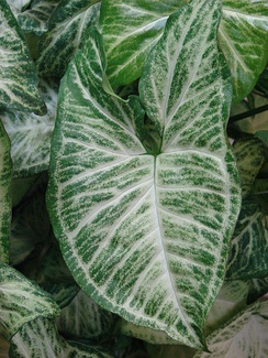 The intramarginal veins near the margins of this leaf are outlined in white.