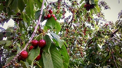 Ripe sweet cherries in Tehran