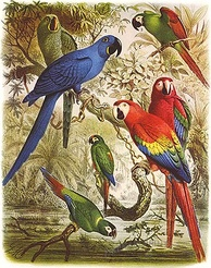 Glaucous macaw (behind hyacinth macaw) and other macaws. Macaws are long-tailed, often colourful New World parrots.[150]
