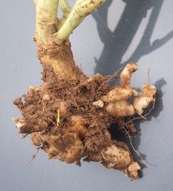 Вздутия корней рапса, вызванные Plasmodiophora brassicae