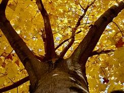 Ветви взрослого дерева