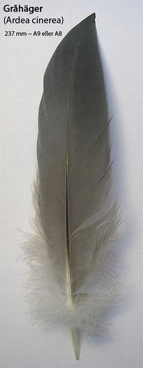 Маховое перо серой цапли