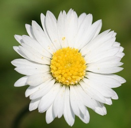 Bellis perennis has one botanical name and many common names, including perennial daisy, lawn daisy, common daisy, and English daisy.