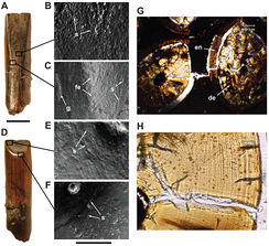 Форма коронок зубов, характер износа и микроструктура зубов