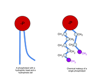 The left image shows a phospholipid, and the right image shows the chemical makeup.