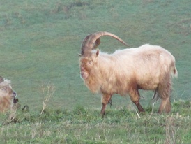 A wild goat with huge horns walks through the grass on a winter morning.
