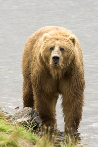 Considering pinnipeds[125] and polar bears[5][7][99] to be marine, the Kodiak bear is the largest[126][127] of the living, land-based, mammalian predators.