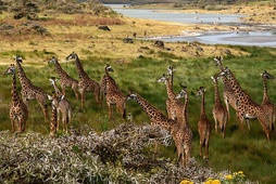 A tower of giraffes at Arusha National Park. The giraffe is the national animal.