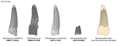 Tooth (third from left) compared to those of other Asian spinosaurs
