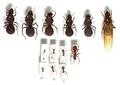 Сравнение муравьиных цариц (верхний ряд) муравьёв-листорезов Atta cephalotes с рабочими