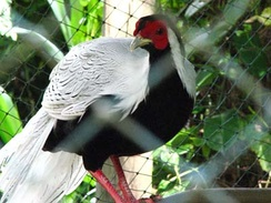Male Lophura nycthemera (silver pheasant), a native of East Asia that has been introduced into parts of Europe for ornamental reasons