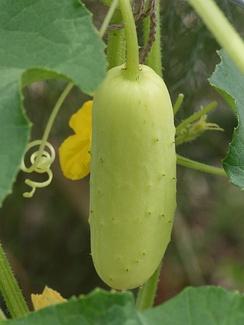 Плод белоплодного сорта огурцов