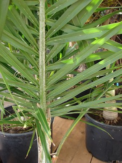 The leaves of Syagrus palms are induplicately folded, in contrast to many other palm genera with reduplicate leaves.