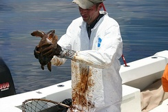 Capturing heavily oiled young turtles 20 to 40 miles offshore for rehabilitation; 14 June 2010
