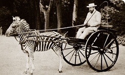 Walter Rothschild and his carriage drawn by zebras