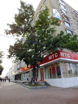Ясень маньчжурский в Хабаровске