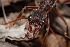 Мандибулы муравья-бульдога