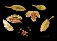 Плоды и семена кардамона