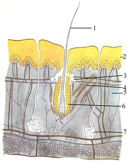 Mammal skin: 1 — hair, 2 — epidermis, 3 — sebaceous gland, 4 — Arrector pili muscle, 5 — dermis, 6 — hair follicle, 7 — sweat gland, 8 (not labeled, the bottom layer)  — hypodermis, showing round adipocytes