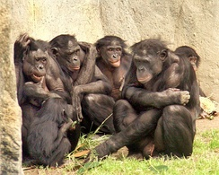 Bonobos are very social.