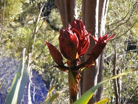 Gymea Lily growing in Heathcote National Park, Sydney.