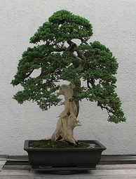 Informal upright style of bonsai on a juniper tree