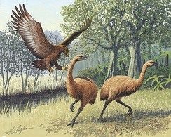 An artist's rendition of a Haast's eagle attacking two moa