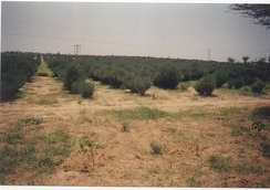 Jojoba plantations, such as those shown, have played a role in combating edge effects of desertification in the Thar Desert, India.[60]