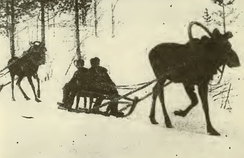 Moose kept as pack animals, Pechora-Ilych Nature Reserve, December 1952