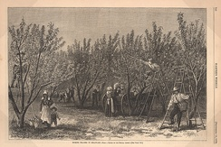 """Picking Peaches in Delaware"" from an 1878 issue of Harper's Weekly"