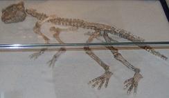 Останки пситтакозавра мейлэинского, найденные в Монголии. Зоологический музей, Копенгаген
