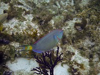 A Stoplight Parrotfish in Princess Alexandra Land and Sea National Park, Providenciales, Turks and Caicos Islands
