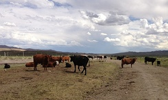 Cattle near the Bruneau River in Elko County