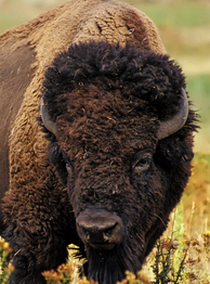 Head of an American buffalo