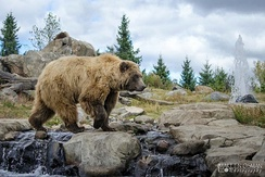 Eurasian brown bears are often adapted to wooded and montane habitats