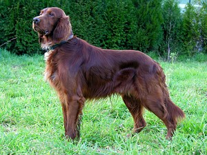 A red setter or Irish setter