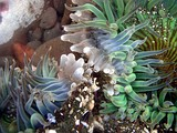 Sea anemones, Anthopleura sola engaged in a battle for territory